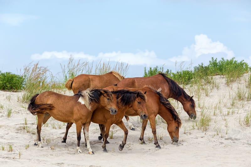 Assateague Island horses