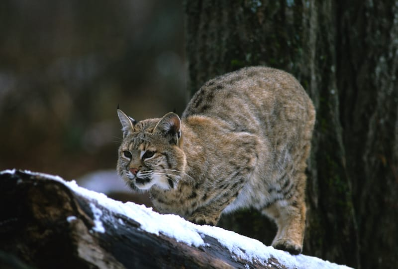 Bobcat in Shenandoah National Park in winter