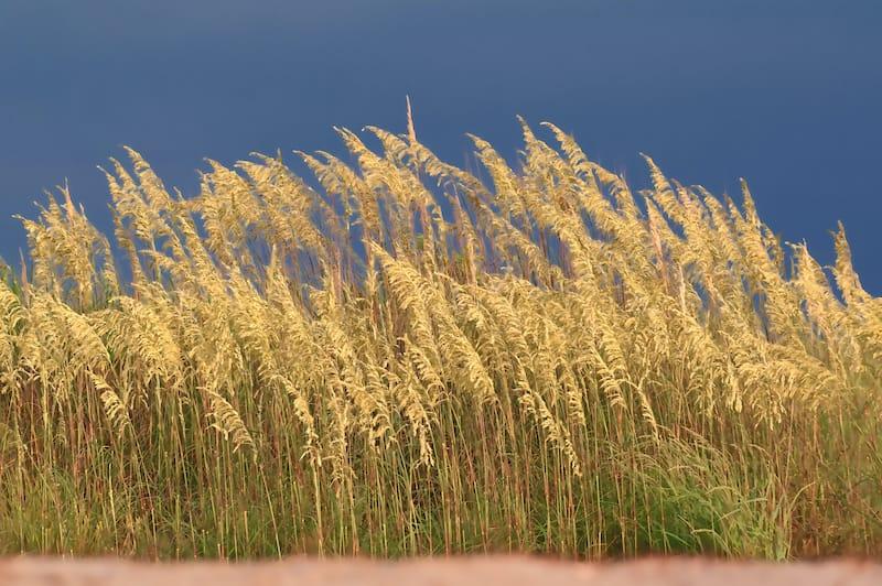 Dune grass on beach at First Landing State Park