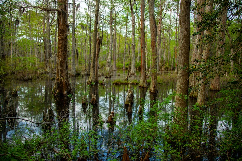 First Landing State Park swamp cypress trees