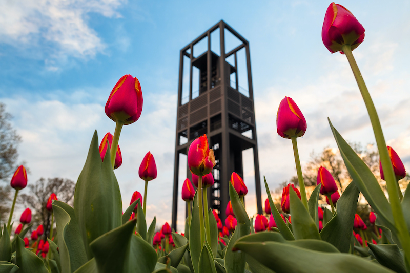 Tulips in Bloom at the Netherlands Carillon in Arlington