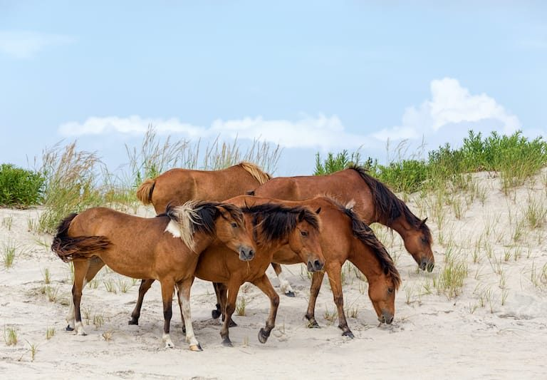 Assateague Horse or Chincoteague Ponies - what to do in Chincoteague