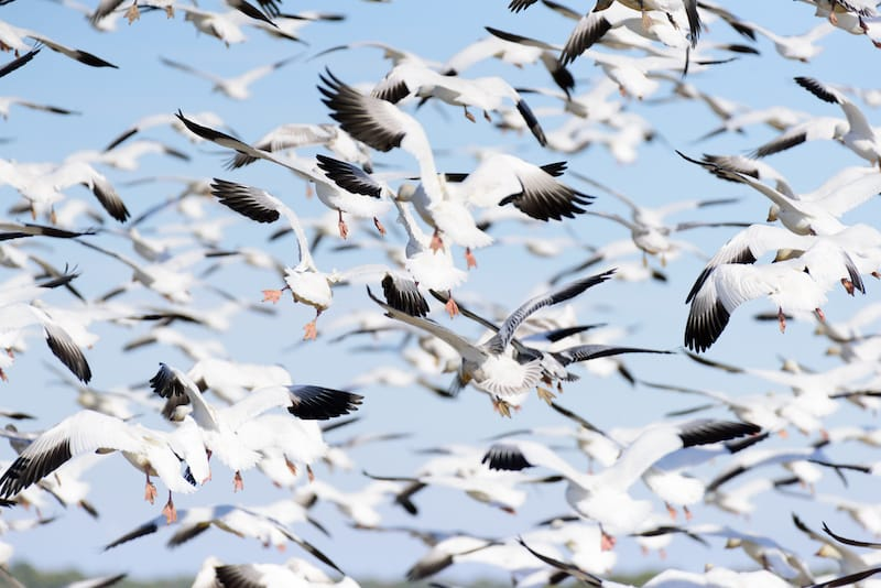 Snow geese in Chincoteague