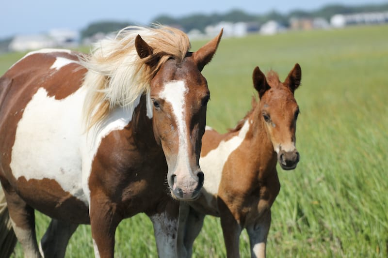 Wild Chincoteague Ponies of Assateague Island