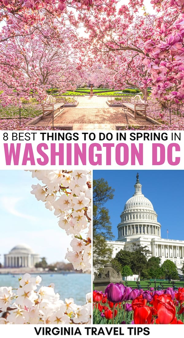 Are you looking to visit Washington DC in spring this year? This guide walks you through what to do, how to see the cherry blossoms, accommodation, and more! | Washington DC spring | DC in spring | Washington DC in March | Washington DC in April | Washington DC in May | Cherry Blossom Festival DC | Things to do in DC | Things to do in Washington DC | Washington DC spring itinerary | Places to visit Washington DC | Spring in Virginia | Virginia spring