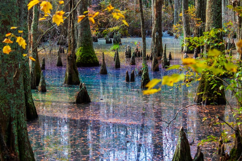 Rainbow sheen in Cypress Swamp at First Landing State Park