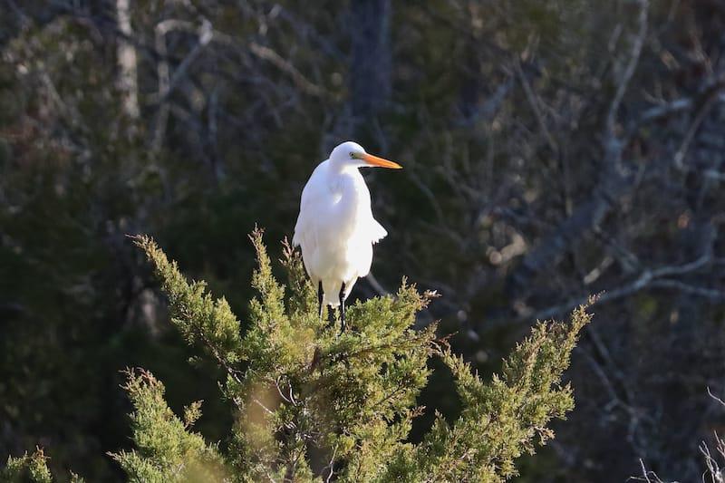 White Egret in Virginia Beach VA