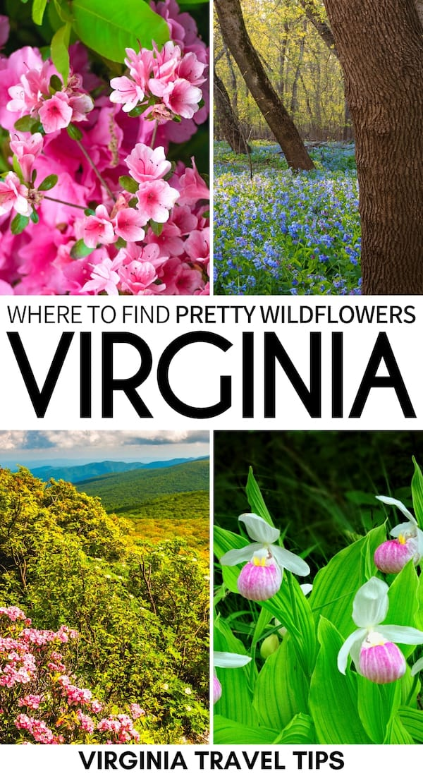 Do you love the vibrant hues of spring and are looking for the best spring wildflowers in Virginia? This guide details where to find them and when to go!   Virginia wildflowers   Things to do in Virginia   Spring in Virginia   Spring in Washington DC   Wildflowers Shenandoah National Park   Shenandoah wildflowers   Virginia hiking wildflowers   Places to visit in Virginia   Virginia bluebells   Spring in Virginia   Virginia in March   Virginia in April   Virginia in May   Shenandoah in spring