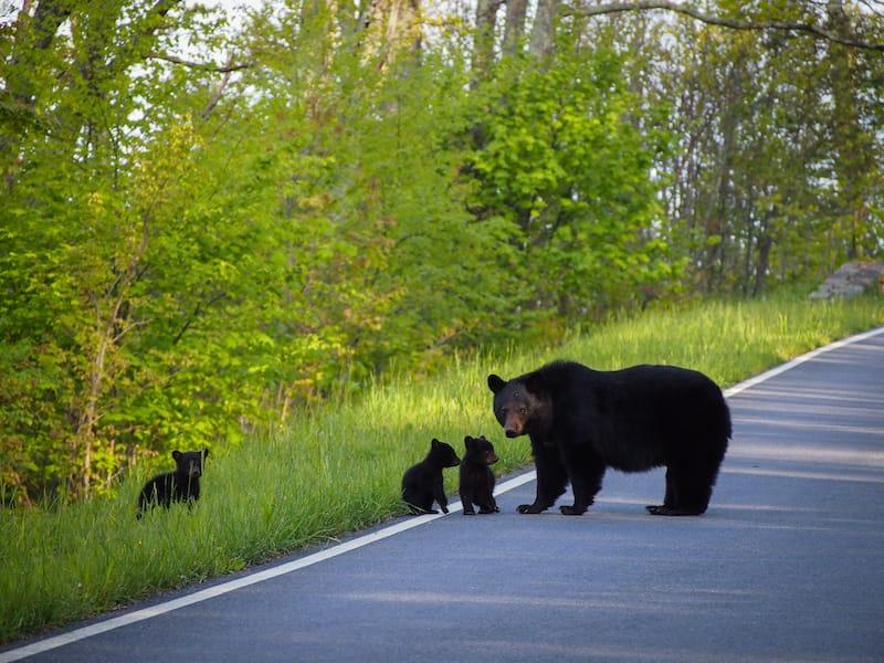 Bears in Shenandoah National Park