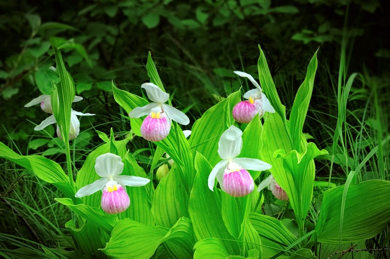 Lady's Slippers in West Virginia
