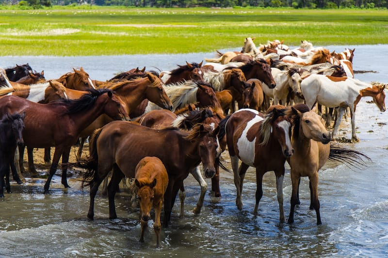 Wild ponies in Chincoteague VA