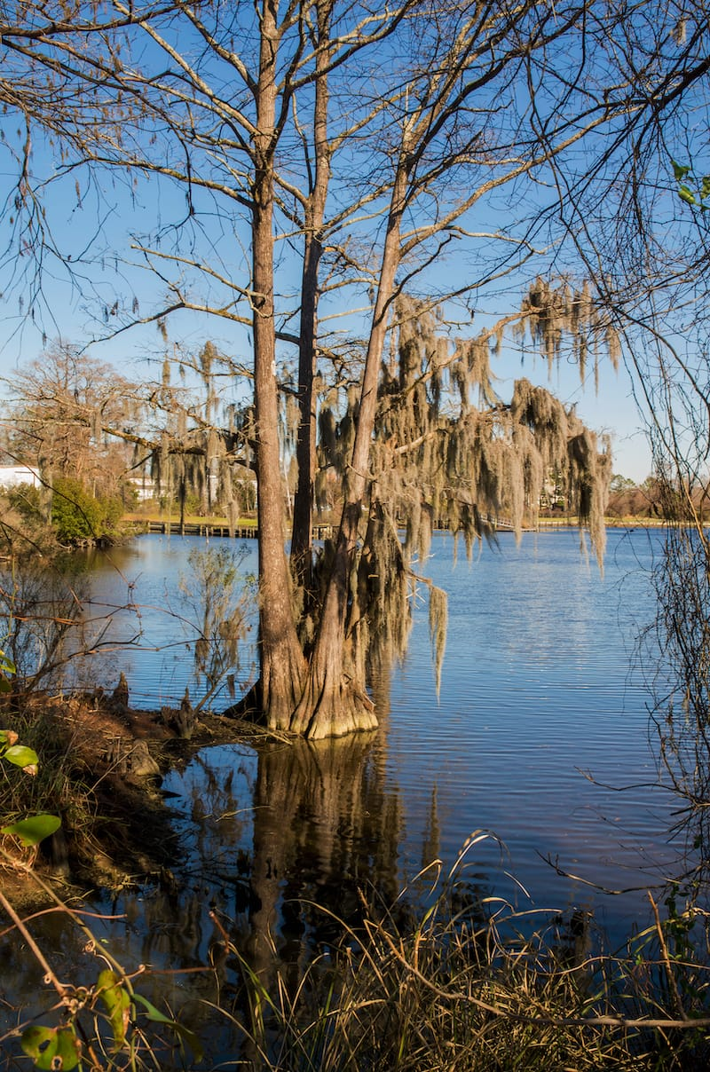 Spanish Moss covers a tree in Lawsons Creek Park