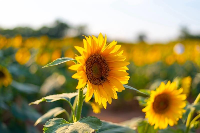 Sunflower field in Murfreesboro