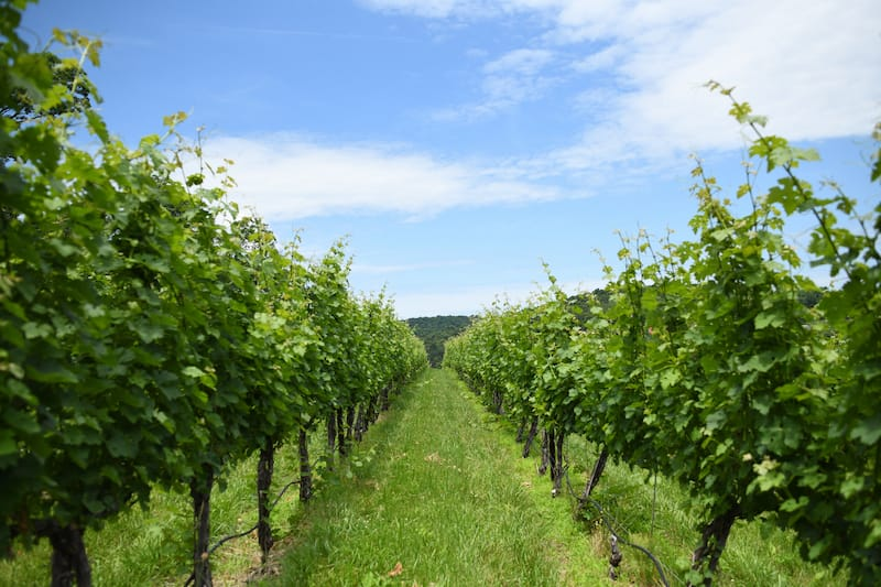 Cave Ridge Vineyards in the Shenandoah Valley