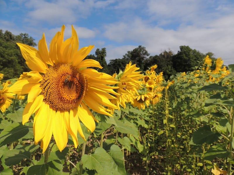 Sunflower fields in Monkton