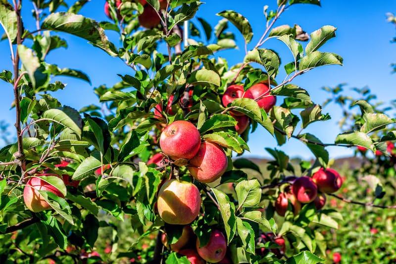 Apple picking in Virginia (Best VA orchards)