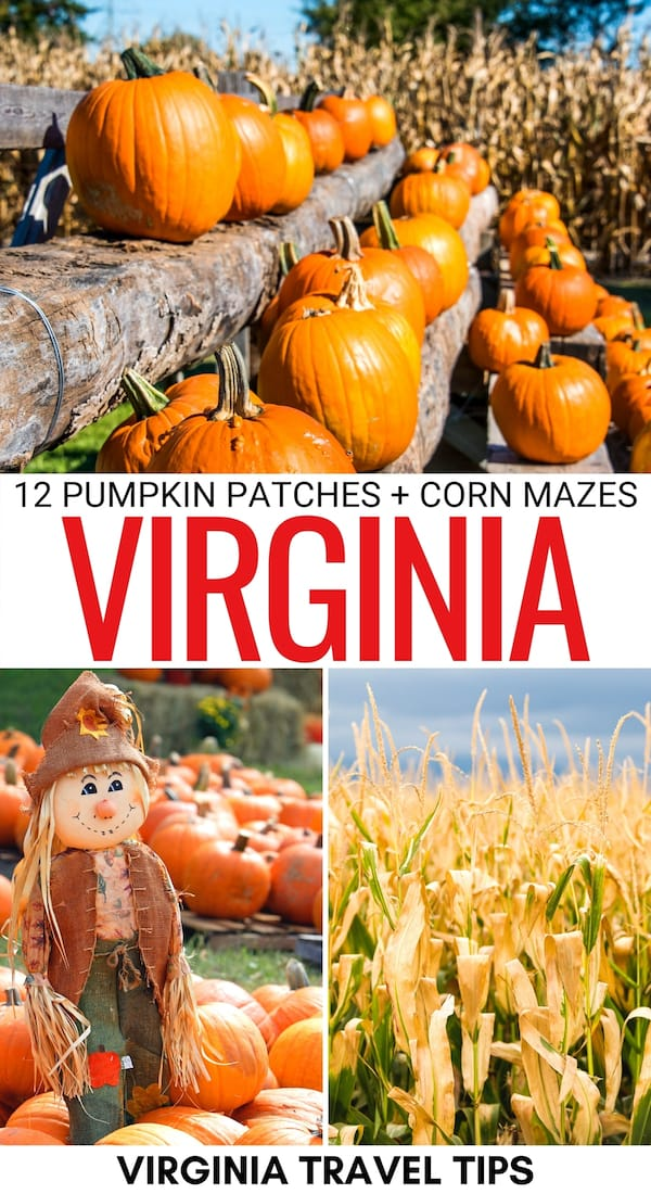 Looking for the best pumpkin patches in Virginia? These Virginia corn mazes and pumpkin patches are a fall must! Click to see where they are located! | Pumpkins in Virginia | Virginia pumpkin patches | Corn maze VA | VA pumpkin patches | Fall in Virginia | Autumn Virginia | Pumpkin patches Northern Virginia | Pumpkin patches near Richmond | Pumpkin patches near Shenandoah National Park | Pumpkin patches near VA Beach | Things to do in Virginia in fall